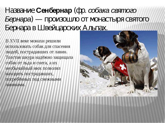 Название Сенбернар (фр. собака святого Бернара) — произошло от монастыря свят...