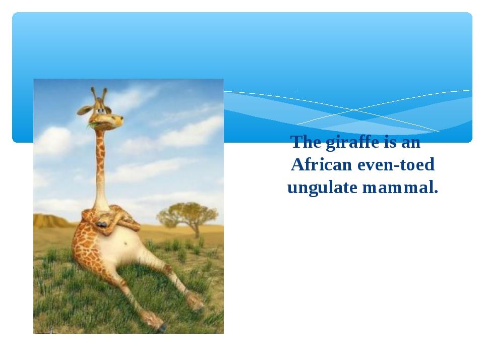 The giraffe is an African even-toed ungulate mammal.