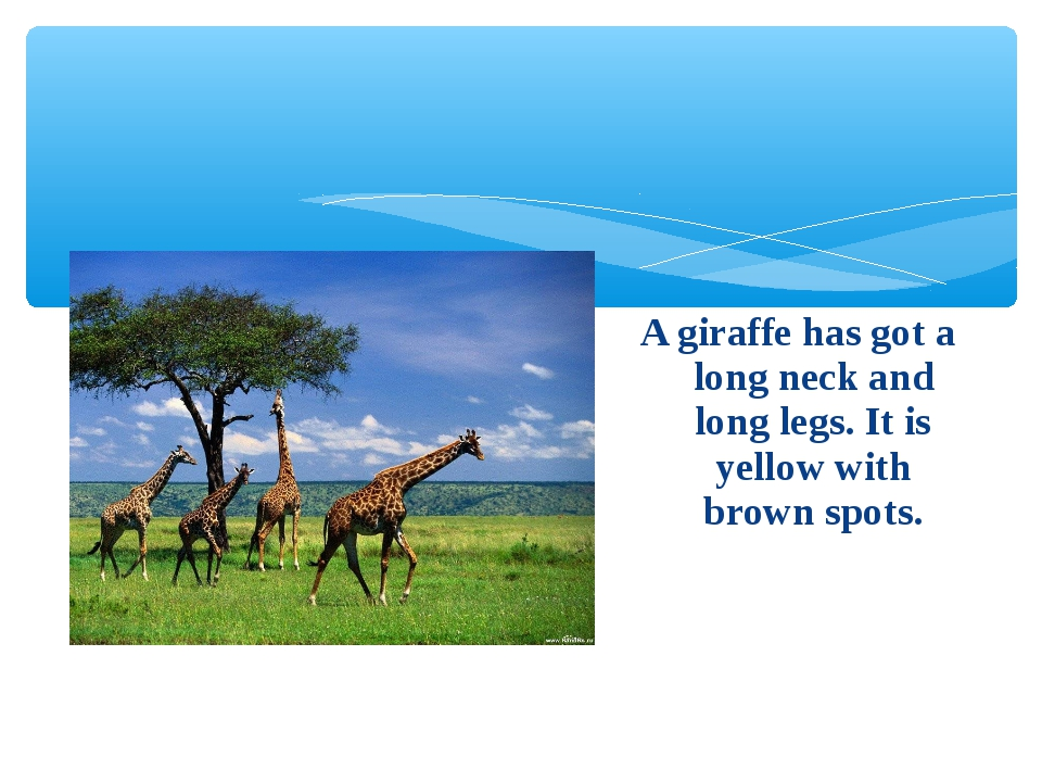 A giraffe has got a long neck and long legs. It is yellow with brown spots.