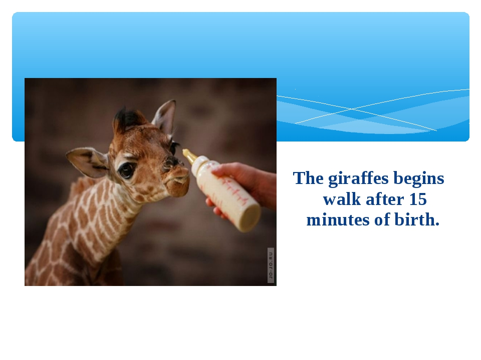 The giraffes begins walk after 15 minutes of birth.