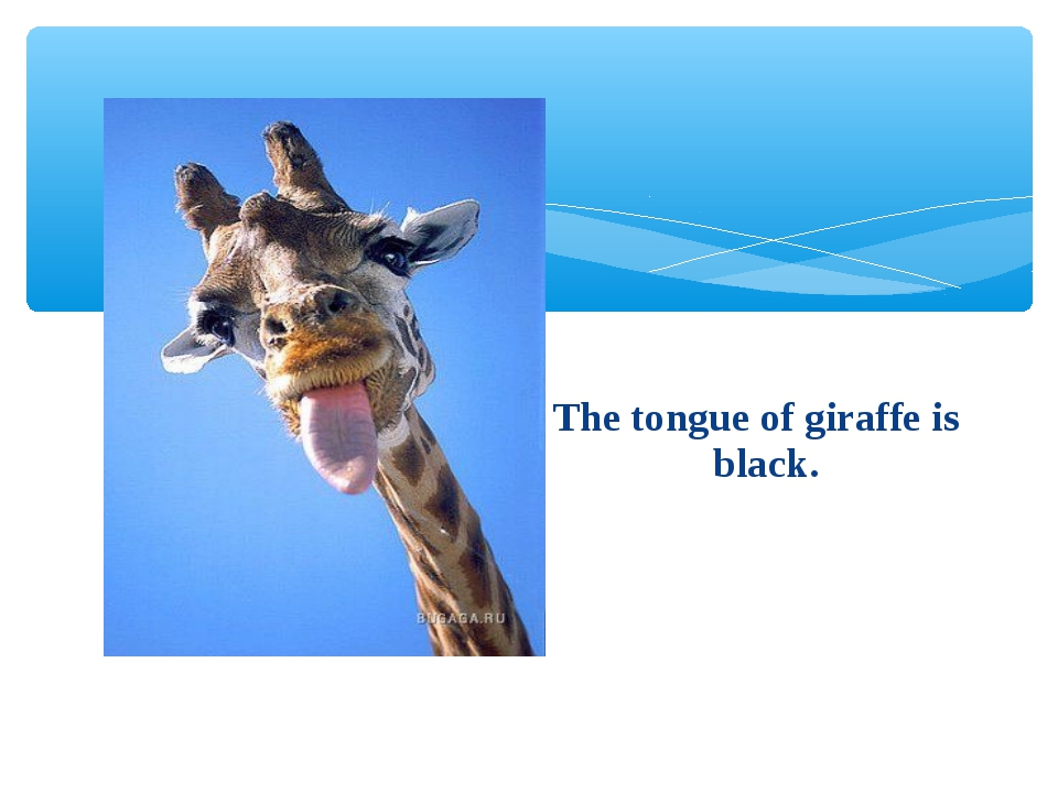 The tongue of giraffe is black.