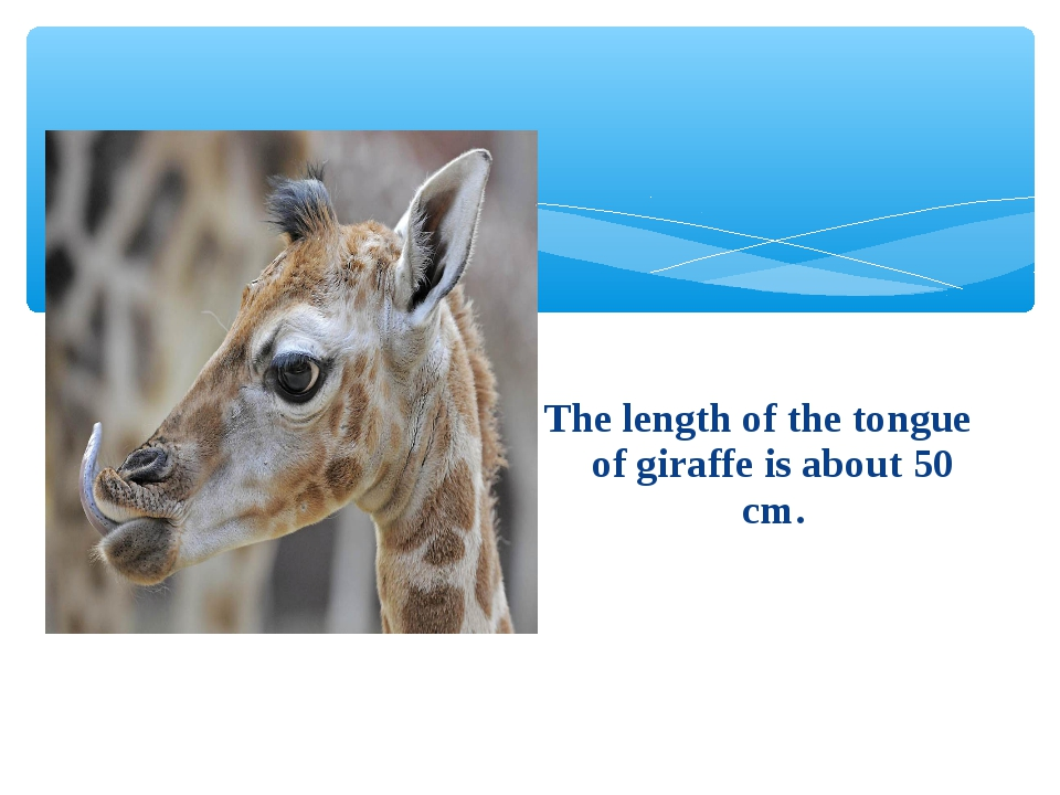 The length of the tongue of giraffe is about 50 cm.