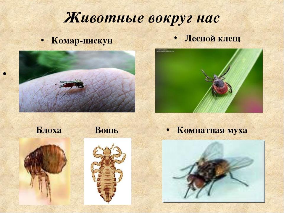 Животные вокруг нас Лесной клещ Блоха Вошь Комнатная муха Комар-пискун