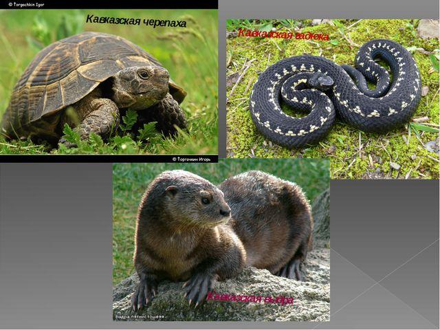 Кавказская черепаха Кавказская гадюка Кавказская выдра