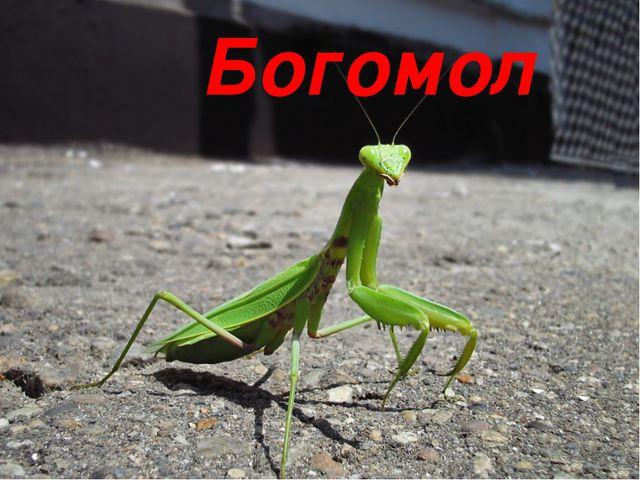 Богомол