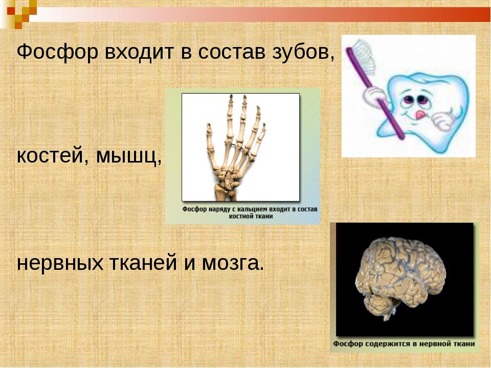 Фосфор входит в состав зубов, костей, мышц,  нервных тканей и мозга.