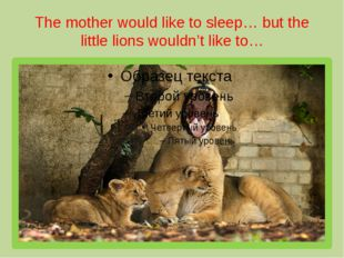 The mother would like to sleep… but the little lions wouldn't like to…
