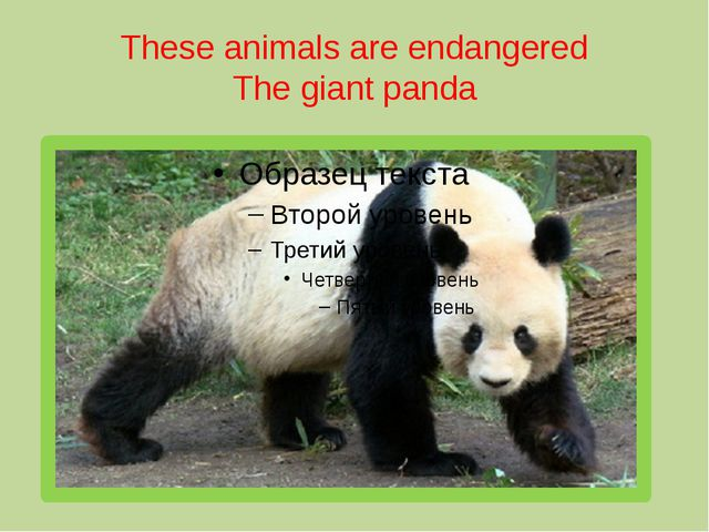 These animals are endangered The giant panda