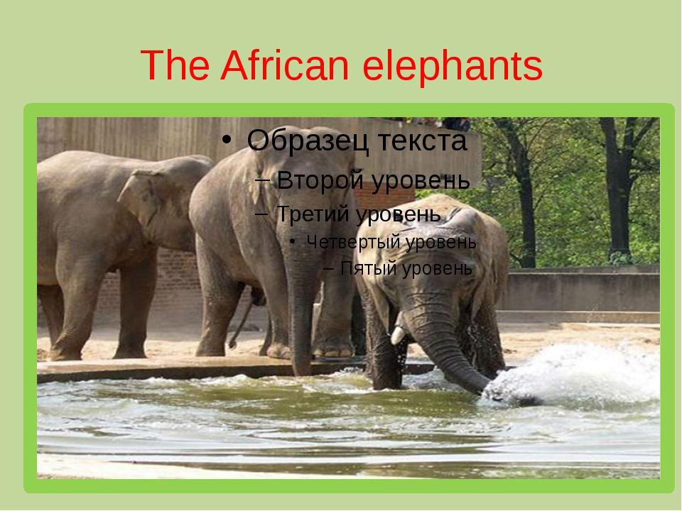 The African elephants