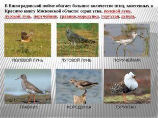 В Виноградовской пойме обитает большое количество птиц, занесенных в Красную