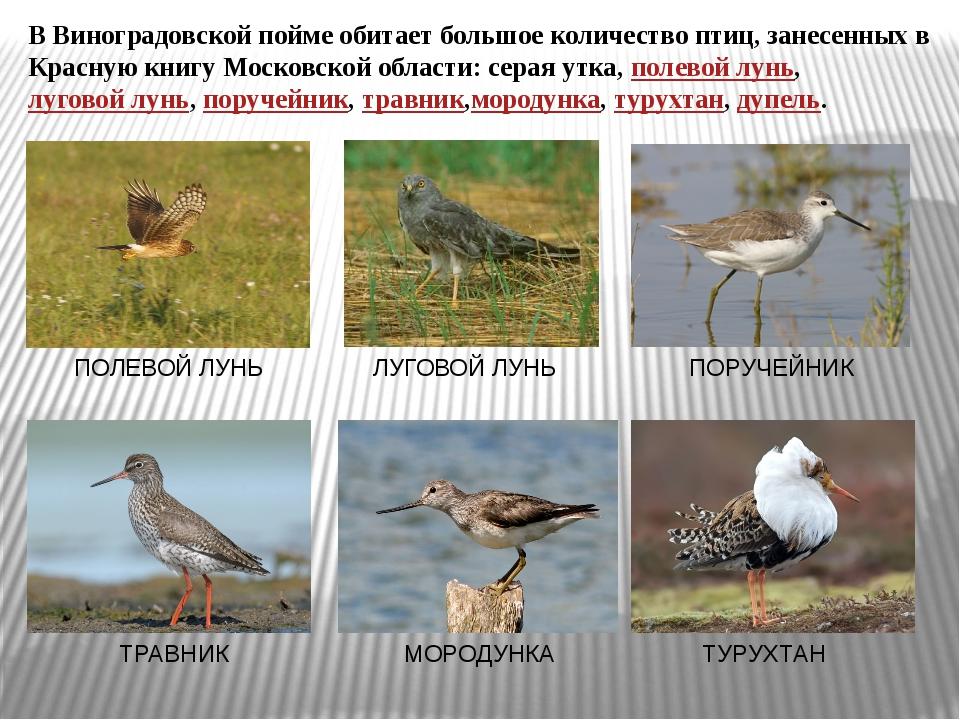 В Виноградовской пойме обитает большое количество птиц, занесенных в Красную...