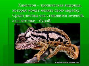 Хамелеон – тропическая ящерица, которая может менять свою окраску. Среди ли