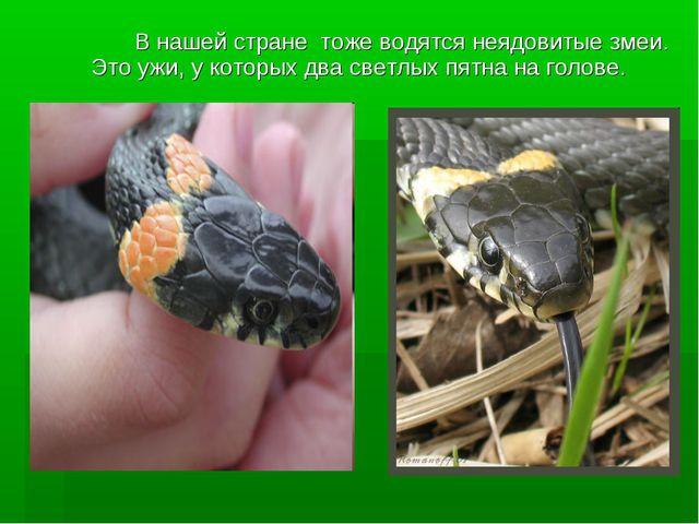 В нашей стране тоже водятся неядовитые змеи. Это ужи, у которых два светлых...