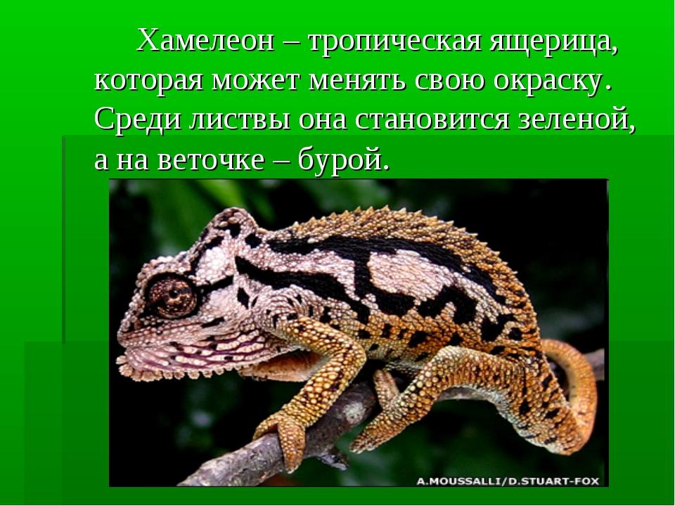 Хамелеон – тропическая ящерица, которая может менять свою окраску. Среди ли...