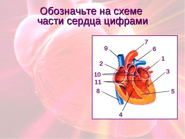 Обозначьте на схеме части сердца цифрами 1 2 3 4 5 6 7 8 9 10 11
