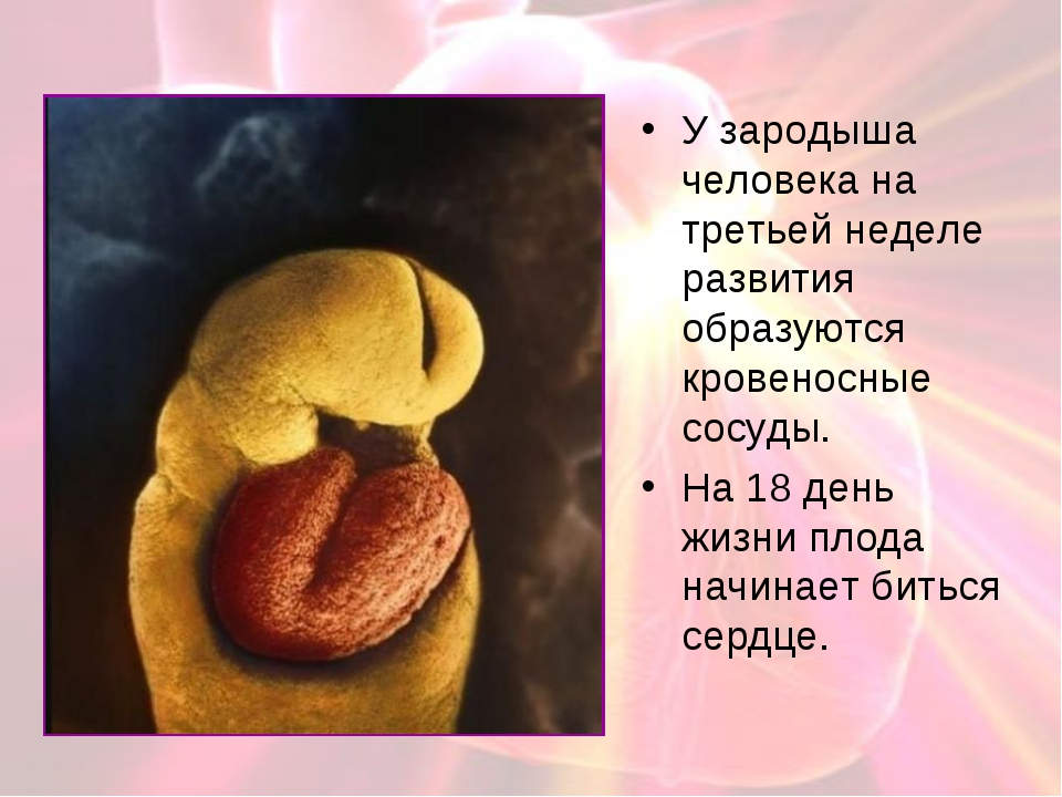 У зародыша человека на третьей неделе развития образуются кровеносные сосуды....
