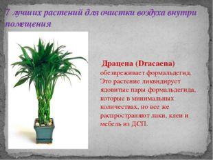 7 лучших растений для очистки воздуха внутри помещения Драцена (Dracaena) обе