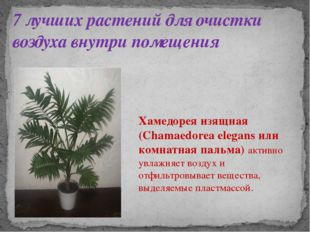 7 лучших растений для очистки воздуха внутри помещения Хамедорея изящная (Cha