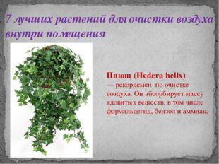 7 лучших растений для очистки воздуха внутри помещения Плющ (Hedera helix) —