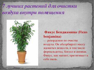 7 лучших растений для очистки воздуха внутри помещения Фикус Бенджамина (Ficu