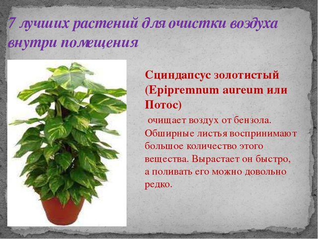 7 лучших растений для очистки воздуха внутри помещения Сциндапсус золотистый...