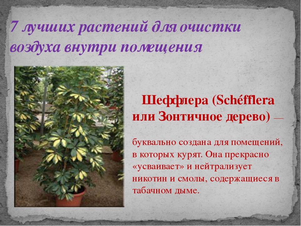 7 лучших растений для очистки воздуха внутри помещения Шеффлера (Schéfflera и...
