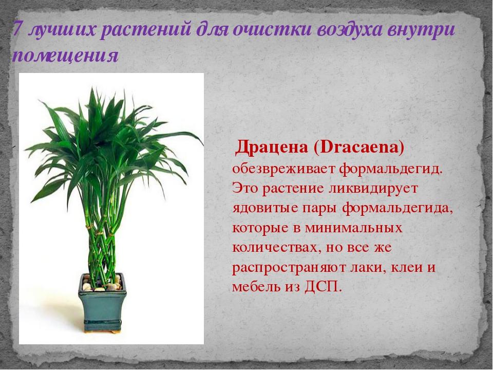7 лучших растений для очистки воздуха внутри помещения Драцена (Dracaena) обе...