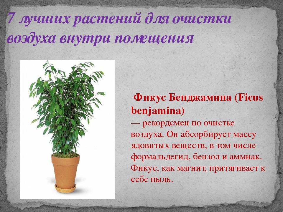 7 лучших растений для очистки воздуха внутри помещения Фикус Бенджамина (Ficu...