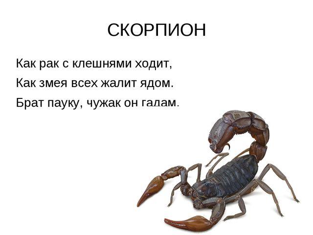 СКОРПИОН Как рак с клешнями ходит, Как змея всех жалит ядом. Брат пауку, чужа...