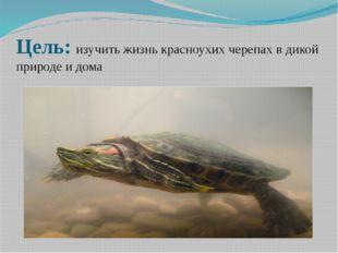 Цель: изучить жизнь красноухих черепах в дикой природе и дома