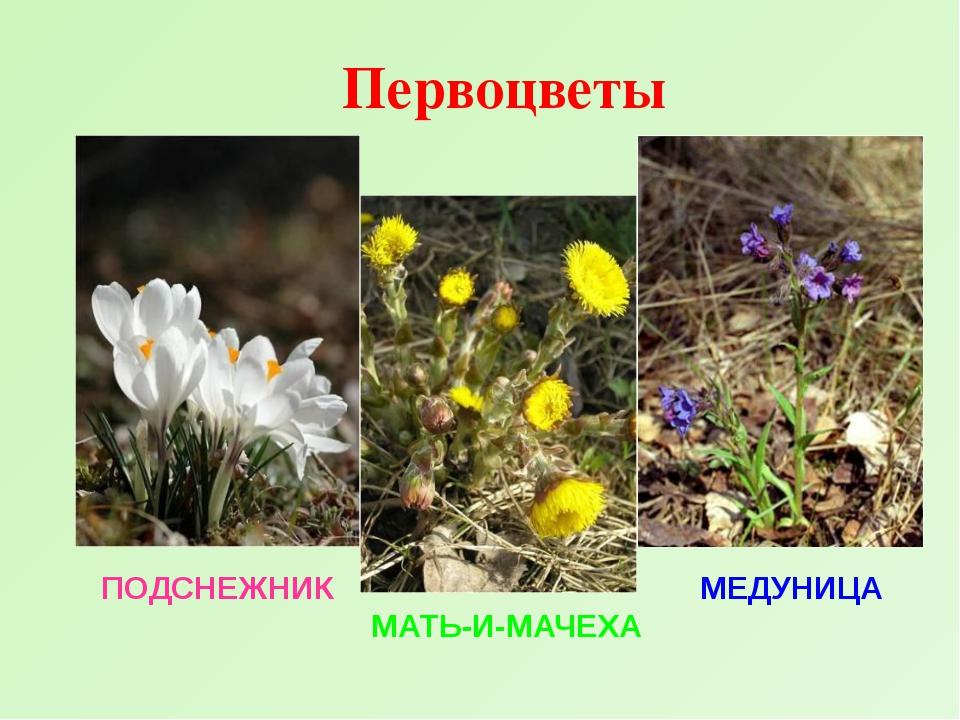 Названия первоцветов с картинками для детей