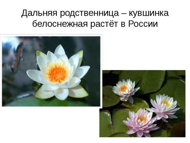 Дальняя родственница – кувшинка белоснежная растёт в России