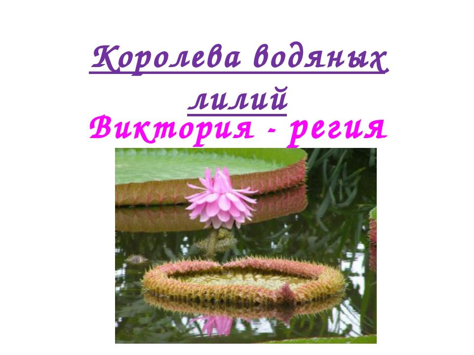 Королева водяных лилий Виктория - регия