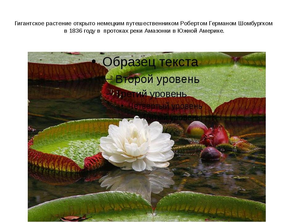 Гигантское растение открыто немецким путешественником Робертом Германом Шомбу...