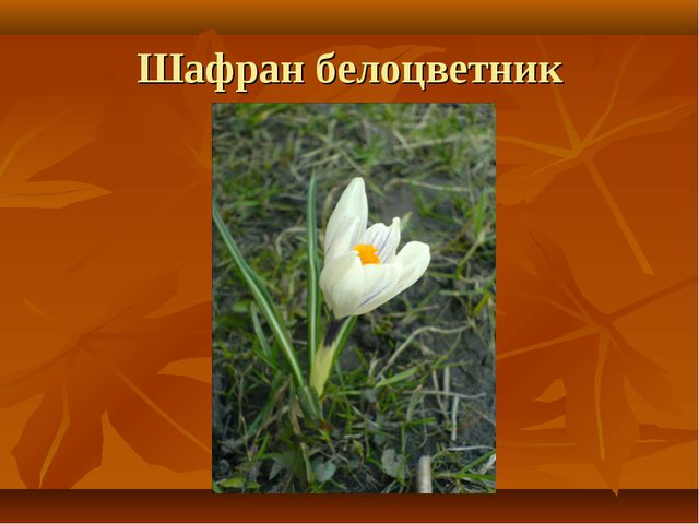 Шафран белоцветник