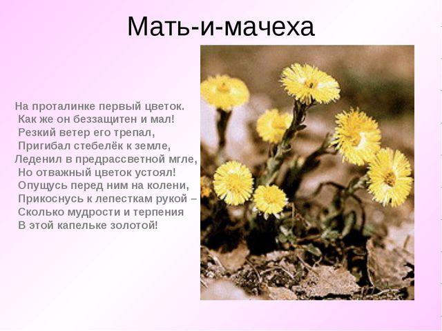 Мать-и-мачеха На проталинке первый цветок. Как же он беззащитен и мал! Резк...