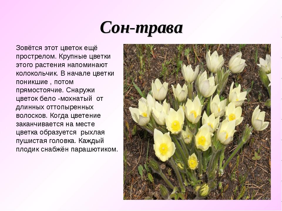 Сон-трава Зовётся этот цветок ещё прострелом. Крупные цветки этого растения н...