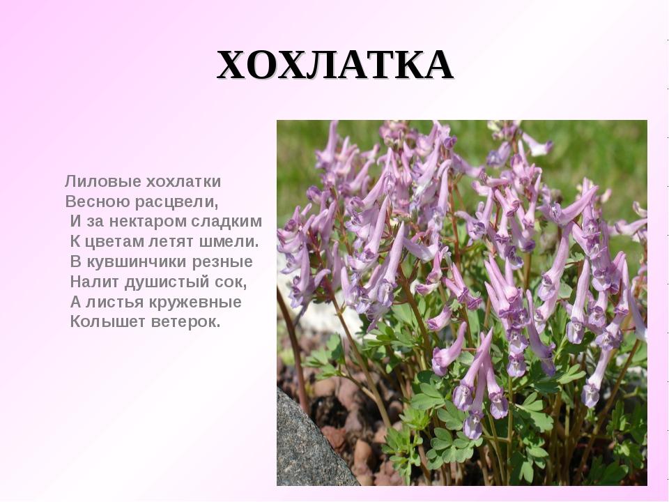 ХОХЛАТКА Лиловые хохлатки  Весною расцвели,     И за нектаром сладким...