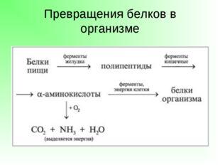 Превращения белков в организме