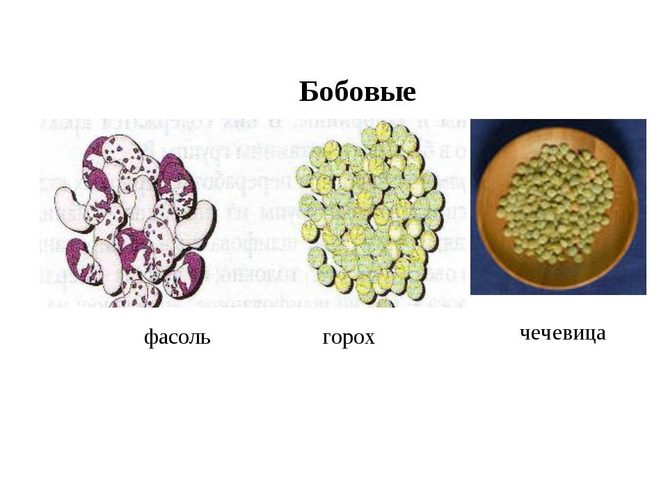 фасоль горох чечевица Бобовые