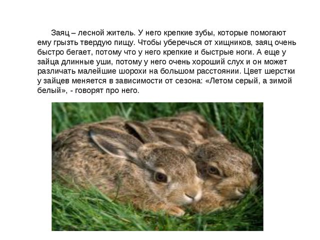 Заяц – лесной житель. У него крепкие зубы, которые помогают ему грызть тв...