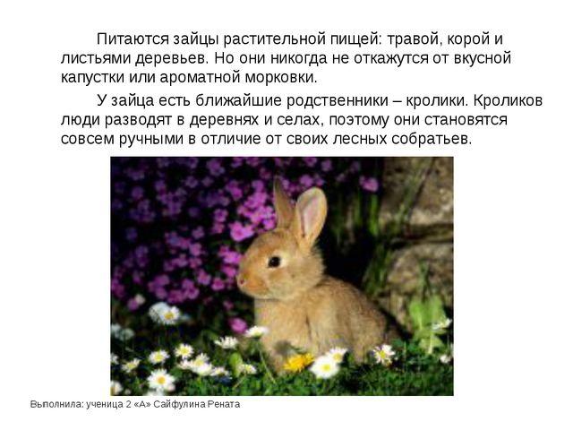Выполнила: ученица 2 «А» Сайфулина Рената Питаются зайцы растительной пищей...