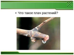Что такое плач растений?