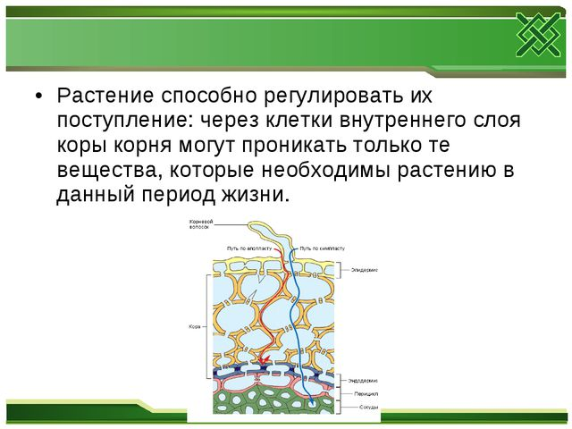 Растение способно регулировать их поступление: через клетки внутреннего слоя...