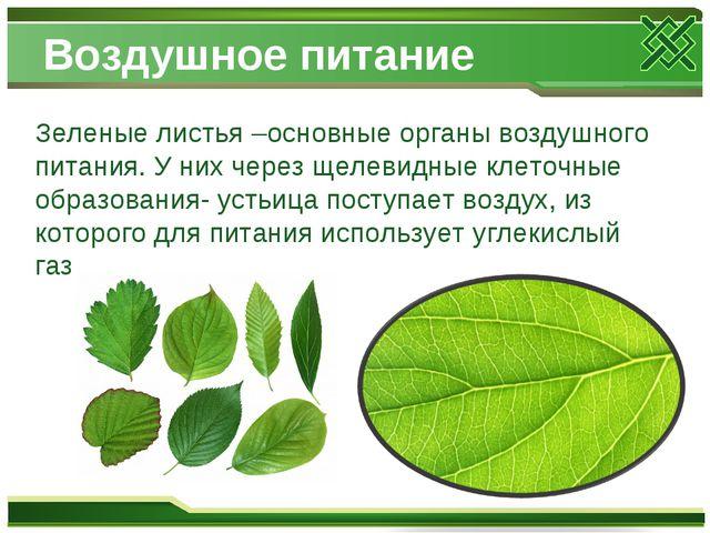 Воздушное питание Зеленые листья –основные органы воздушного питания. У них ч...