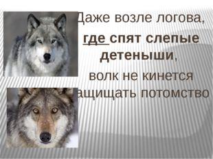 Даже возле логова, гдеспят слепые детеныши, волк не кинется защищать потом