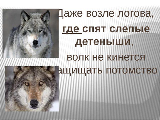 Даже возле логова, гдеспят слепые детеныши, волк не кинется защищать потом...