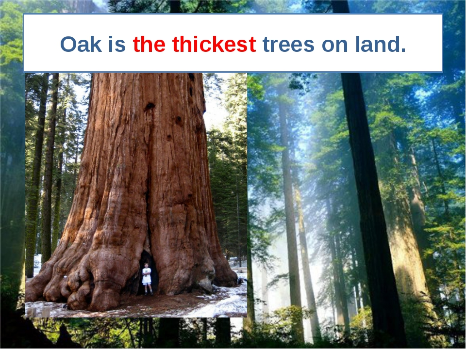 Oak is the thickest trees on land.