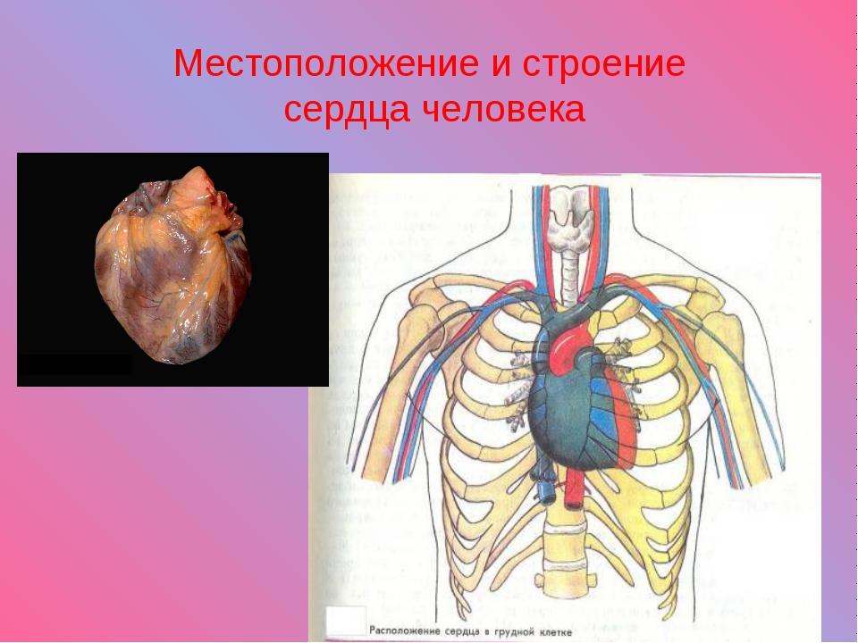 Местоположение и строение сердца человека