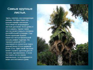 Самые крупные листья. м Здесь, конечно, вне конкуренции пальмы. На Шри-Ланке